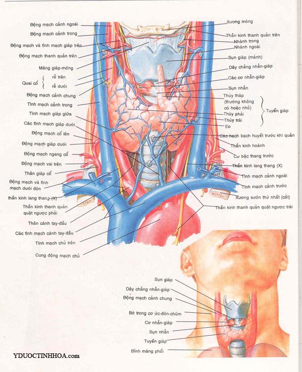 Giải Phẫu động Mạch Của đầu Mặt Cổ